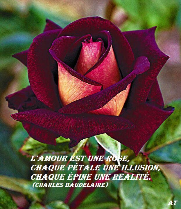 L'amour est une rose